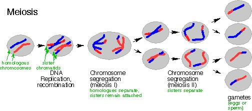 Meiosis genetic biology image image for meiosis genetic biology ccuart Image collections
